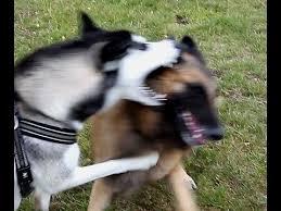 belgian sheepdog wolf mix siberian husky vs tervueren belgische herdershond belgian