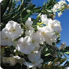 Tree With Little White Flowers - oleander with white flowers is a small shrub and should be