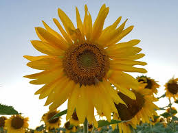 salina ks sunflower field by kansas state university wildcats forever home facebook