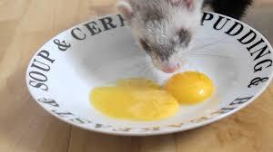 ferrets 1st egg yolk experience youtube