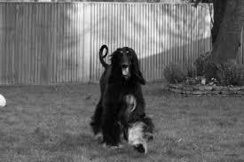 afghan hound racing uk calahorra from the viennawoods ahi afghan hound pedigree database