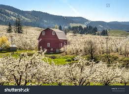 red barn among apple orchards hood stock photo 101773159