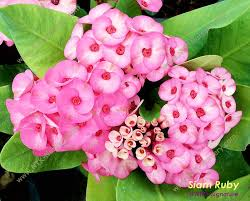live ornamental plants and euphorbia milii plant siam ruby buy