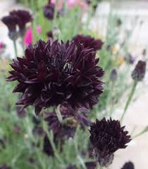 organic edible flowers 28 best cornflowers maddocks farm organics growing using