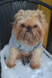 36 best brussels griffon images on pinterest brussels dog and