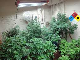 fluorescent light bulbs for growing weed q a with jorge poor harvest marijuanagrowing com