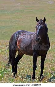 Black Mustang Horse Wild Horse Mustang Bay Band Stallion With His Strawberry Red Roan