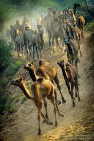 thar desert animals best 25 camels ideas on pinterest camel camel animal and