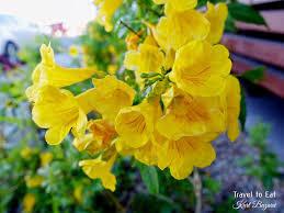 nevada native plants yellow bells tecoma stans las vegas nevada plants flowers
