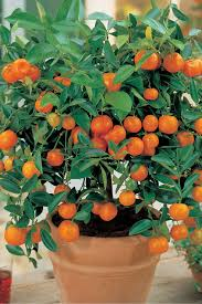 seedlings india ornamental orange green leaves live plant