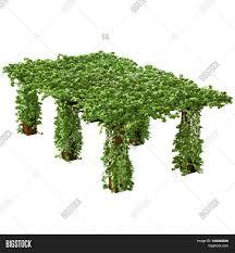 long tall pergola climbing ivy image u0026 photo bigstock