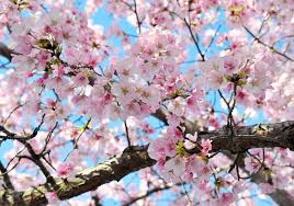 cherry blossoms could be seriously damaged by upcoming cold snap