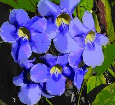 tropical blues ornamental plants and flowers of tropical mexico