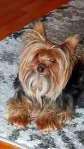 yorkshire terrier haircuts pictures miniature yorkshire terrier yorkshire terrier haircuts