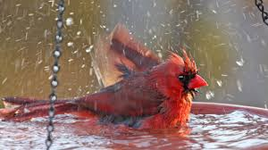 splish splash why do birds take baths u2013 cool green science