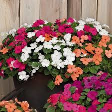impatiens flowers impatiens flower impatiens seeds 29 impatiens annual flower seeds
