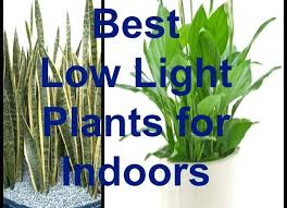 indoor plants that need no light good inside plants full size of best indoor plants good inside