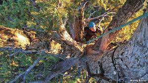 climbing the world s tree seqouiadendron giganteum