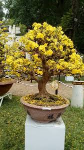 era nurseries buy trees online wholesale australian native 2146 best bonsai images on pinterest bonsai trees bonsai art