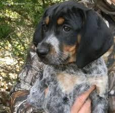 bluetick coonhound mix puppies bluetick coonhound beagle pinterest bluetick coonhound dog