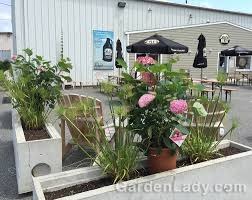 gardenlady com i love invincibelle spirit ii hydrangea