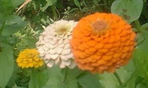zinnias flowers zinnia15 jpg