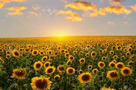 Sunflower Field Images U0026 Stock Pictures Royalty Free Sunflower