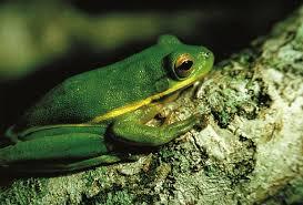 tree frog hyla animals a z animals