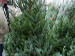 real christmas trees for sale christmas trees for sale buy real christmas trees belfast northern