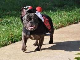 affenpinscher for sale ohio french bulldog puppies for sale french bulldog breeders