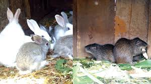 rabbit grass cutter farming providing income and nutrition