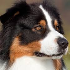 images of australian shepherd australian shepherd breed information characteristics u0026 heath