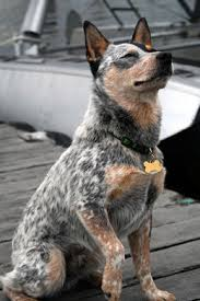 australian shepherd qld meet the queensland heeler learn about its size shedding and more