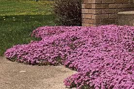 10 Best Perennials And Flowers by Creeping Phlox Phlox Subulata Zones 3 To 8 Creeping Phlox