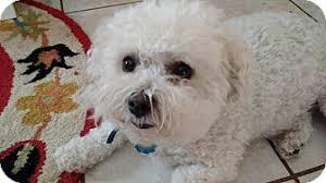 ozzie a bichon frise sassy and sunny adopted dog austin tx bichon frise