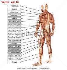 Human Anatomy Muscle Vector Concept Conceptual 3d Human Anatomy Stock Vector 116064964
