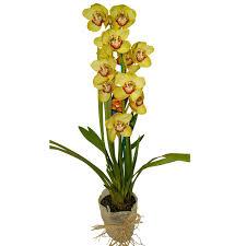 cymbidium orchid cymbidium orchid plant