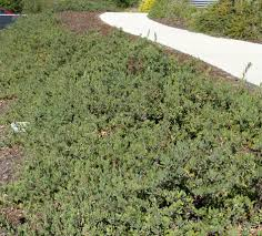 native plants for clay soil california native plant ground cover plants