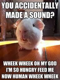 Shaved Guinea Pig Meme - 28731 best best guinea pig board images on pinterest guinea pigs