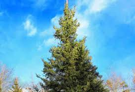 types of trees explained douglas fir balsam fir
