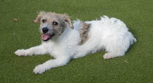 poodle x bichon frise molly u2013 6 7 month old female bichon frise cross terrier dog for