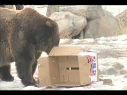 Zoomontana S Grizzly Makes Super Bowl Prediction Ktvq Com Q2 - ozzy the bear s super bowl prediction youtube