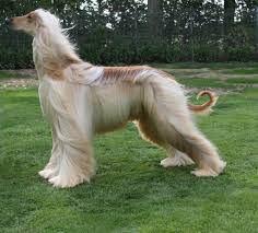 afghan hound dog breed detail shechosethedog