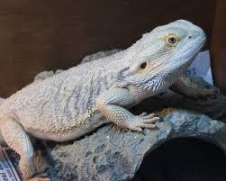 blue eyed beardies u2022 bearded dragon org