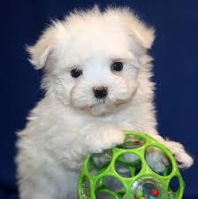 belgian sheepdog breeders indiana maltese puppies for sale