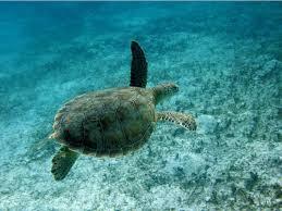 imagenes tortugas verdes dos santuarios para las tortugas verdes en el mediterráneo