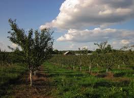 michigan plum growers establishing and training plum trees