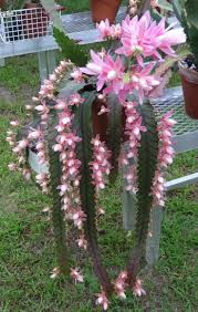 types of native plants 25 best orchid cactus ideas on pinterest cactus identification