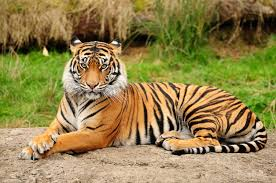 Point Defiance Zoo Lights Coupon by Tiger Laying Down Google Search Thats Kinda Cool Pinterest