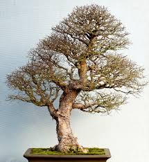 bonsai trees are tiny perfect versions their big brothers and